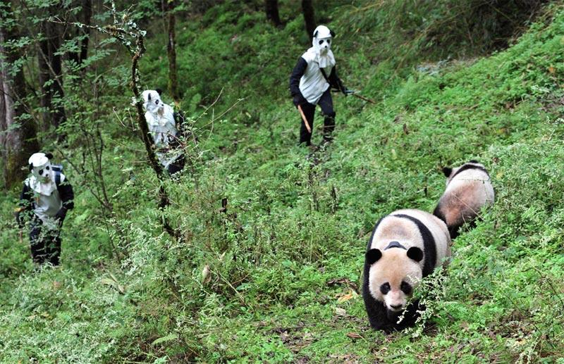 Panda Wolong China